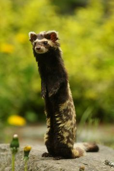 The Marbled polecat is a type of creature found in Asia and Southwestern Europe. It has a long, bushy tail and a striped face. Unfortunately, this species is listed as vulnerable and its numbers are slowly declining. : Awwducational