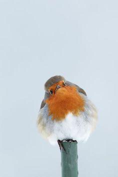 Robin Kinds Of Birds, All Birds, Cute Birds, Pretty Birds, Little Birds, Beautiful Birds, Animals Beautiful, Red Robin, Robin Bird