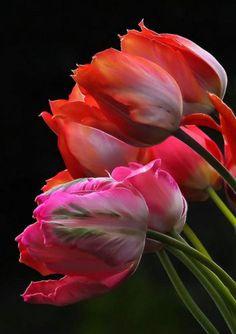 la tulipe, bouqet de belles tulipes