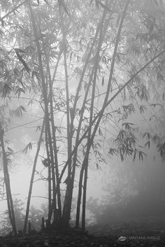 Blurry Bamboo Forest