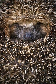 Hedgehog....Springwatch 2013