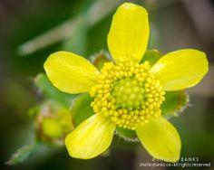 Prairie Wildflowers: Prairie Buttercup: Glossy yellow grassland flowers...