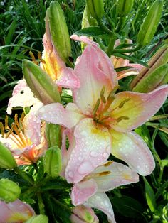 My lilies are a perfect pink. #flowers #lilies #pink