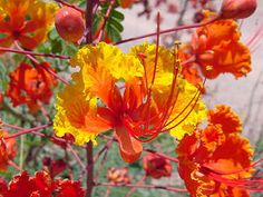 Red Bird of Paradise/Pride of Barbados (15 seeds) $5.00