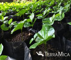 Coffee seedlings - we work with coffee #farmers to improve crop quality and yield, helping to improve quality of life for impoverished #farming #families. #agriculture #coffee