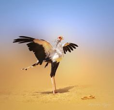 SecretaryBird... magnificent and fearless