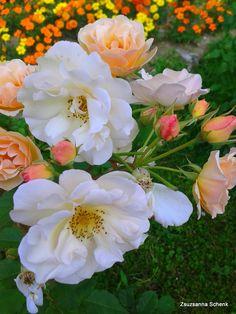Penelope - Moschata Rose