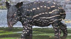 Kedua, the new baby tapir at Leipzig Zoo