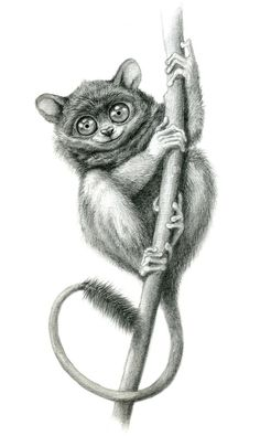 Drawing of a Tarsier