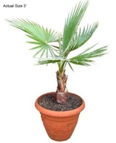 Mexican Fan Palm Tree 15 Seeds Easy to Grow Fast Growing Hardy to Zone 8 | eBay