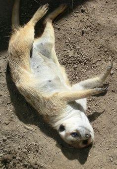 A weasel @San Diego Zoo