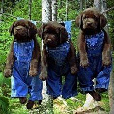 Black Lab puppies just hangin' around mamabearplus6.wix...