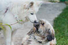 Tibetian terrier and samoyed Royalty Free Stock Photo