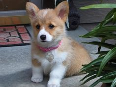 Cute corgi puppy!