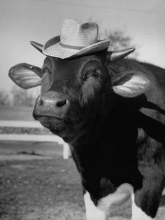Trained Cow Wearing a Hat Premium Photographic Print by Nina Leen at Art.com