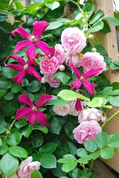 Clematis 'Madam Julia Correvon' and pink climbing rose. ~WMG plant clematis and roses together- the rose shades the clematis' roots which it prefers and both get the sunlight to bloom