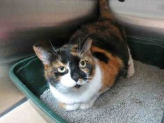 My name is TRIXIE. I am a spayed female, calico Domestic Shorthair. The shelter staff think I am about 8 years old.
