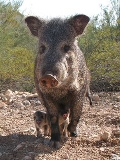 Javelina and her babies | Flickr - Photo Sharing!