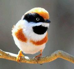 Black-throated Bushtit (Aegithalos concinnus), also known as the Black-throated Tit by 嘎哩. via Wild life and Nature Pictures FB Kinds Of Birds, All Birds, Little Birds, Love Birds, Pretty Birds, Beautiful Birds, Animals Beautiful, Cute Animals, Exotic Birds