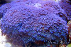 Blue Clove Polyp Coral. We just picked some up today, can't wait for them to flourish :)
