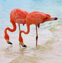 Caribbean twins. #flamingos
