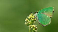 https://flic.kr/p/AzNAGR | Callophrys rubi | The Green Hairstreak