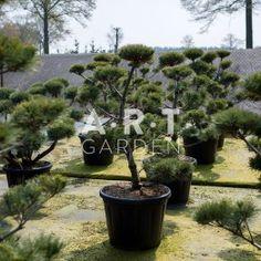 Arbre Nuage japonais - Bonsai Geant Pinus Strobus Krugers Liliput