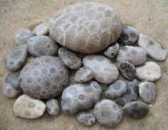 Petoskey stone is a rock and a fossil, often pebble-shaped, that is composed of a fossilized coral. The stones were formed as a result of glaciation. Petoskey was the state mineral of Michigan during the