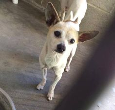 SAFE --- #A473784 Release date 10/9 I am a male, white and brown Chihuahua - Smooth Coated mix. Shelter staff think I am about 4 years old. I have been at the shelter since Oct 02, 2014.  http://www.petharbor.com/pet.asp?uaid=SBCT.A473784 ... City of San Bernardino Animal Control-Shelter. https://www.facebook.com/photo.php?fbid=10203679859774599&set=a.10203202186593068&type=3&theater