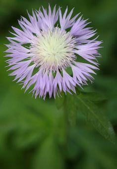 Cornflower (Bachelor's buttons) flower