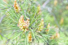 Männynkukinnot ovat superruokaa suoraan suomalaisesta metsästä! Männyn hedekukinnot ovat alkukeväällä pienen kepin näköisiä. Kukintoon alkaa muodostua pieniä rakkuloita kevään edetessä muutamalla viikolla. Kukinnon rakkulat muuttuvat huokosiksi päivien edetessä ja alkavat tuottaa keltaista siitepöl
