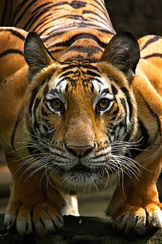 30 Stunning Photos of Tigers that Will Leave You Spellbound