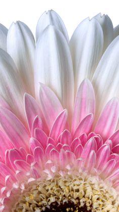 Petals, close up, flower, white gerbera, wallpaper - Modern Exotic Flowers, Amazing Flowers, Pretty Flowers, Flower Iphone Wallpaper, Flower Backgrounds, Hd Wallpaper, Flower Petals, Flower Art, Theme Nature