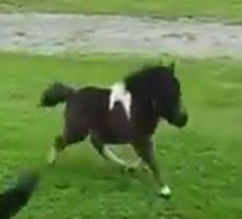 The Tiny Horse Animal Video Of The Day!!! ... see more at PetsLady.com ... The FUN site for Animal Lovers