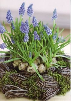 Muscari botryoides - Twisted - Shabby chic floral arrangements