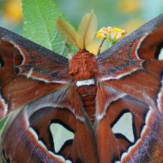 http://faaxaal.forumgratuit.ca/t1496-photos-de-papillons-attacus-atlas-bombyx-atlas#1924