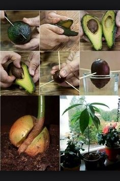 How To Grow Avocado At Home #Home #Garden #Trusper #Tip