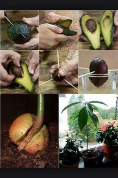How To Grow Avocado At Home #Home #Garden #Trusper #Tip