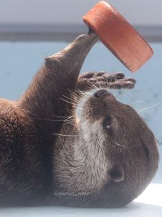Otter playing