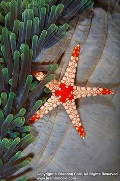 Candy Cane sea star Fromia monilis and sea anemone.