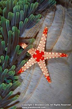 S for Starfish Echinoderm- sea star (Fromia monilis) and sea anemone. starfish echinoderms invertebrates one tropical vertical sea anemone. Underwater Creatures, Underwater Life, Ocean Creatures, Beautiful Sea Creatures, Animals Beautiful, Marine Photography, Sea Photography, Beneath The Sea, Sea Anemone