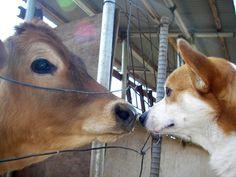 Corgi Cow Encounter #corgi