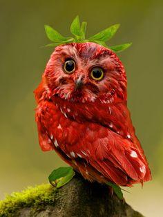 Diamond Painting Red Owl Paint with Diamonds Art Crystal Craft Decor - Beautiful Animals Owl Photos, Owl Pictures, Cute Birds, Pretty Birds, Cute Owl, Exotic Birds, Colorful Birds, Beautiful Owl, Animals Beautiful