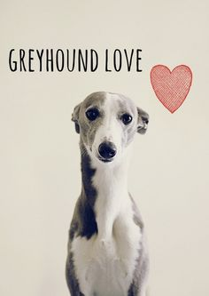 Owning a retired greyhound has always been on my bucket list <3