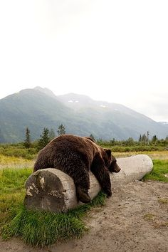 Adult Brown bear rests on a log at the Alaska Wildlife Conservation Center: wow. That bear is huge. Nature Animals, Animals And Pets, Baby Animals, Funny Animals, Cute Animals, Wildlife Nature, Baby Pandas, Wild Animals, Wild Life