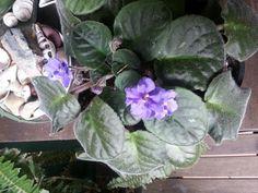 African violet greets me