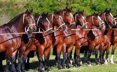 Caballos Criollos - todo sobre el caballo criollo -: 01/14/15
