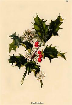 Showy Evergreen, Hedge 60 Tree Seeds Ilex aquifolium English Holly