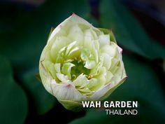 Chuehuang Lotus Yellow 4 | Nelumbo nucifera or Sacred Lotus … | Flickr Nelumbo Nucifera, Sacred Lotus, Yellow, Rose, Flowers, Plants, Pink, Plant, Roses