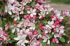 My favourite crab apple - Malus Floribunda crab-apple tree